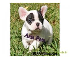 French bulldog pups for sale in Vijayawada on French bulldog Breeders