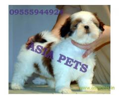 Shih tzu pups for sale in Secunderabad on Shih tzu Breeders