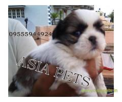 Shih tzu pups for sale in Vijayawada on Shih tzu Breeders