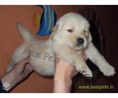 Golden Retriever pups for sale in Agra on Golden Retriever Breeders