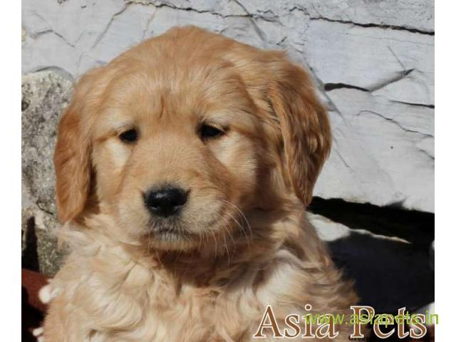 Golden Retriever pups for sale in Bhubaneswar on Golden Retriever Breeders