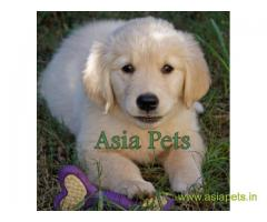 Golden Retriever pups for sale in Chennai on Golden Retriever Breeders