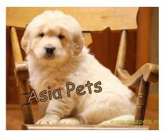 Golden Retriever pups for sale in Coimbatore on Golden Retriever Breeders