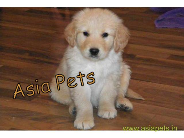 Golden Retriever pups for sale in Faridabad on Golden Retriever Breeders