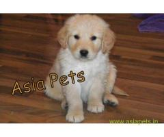 Golden Retriever pups for sale in Ghaziabad on Golden Retriever Breeders