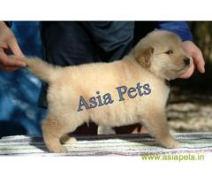 Golden Retriever pups for sale in Guwahati on Golden Retriever Breeders