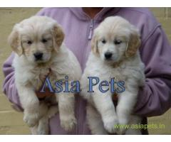 Golden Retriever pups for sale in Ranchi on Golden Retriever Breeders