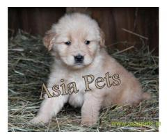 Golden Retriever pups for sale in Mumbai on Golden Retriever Breeders