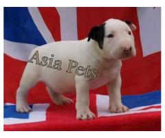 Bullterrier pups  price in Bhopal, Bullterrier pups  for sale in Bhopal,