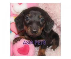 Dachshund pups  price in Bhopal, Dachshund pups  for sale in Bhopal,