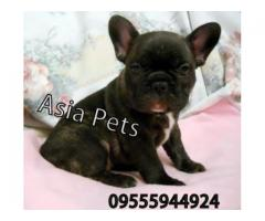 French Bulldog pups  price in Bhopal, French Bulldog pups  for sale in Bhopal,