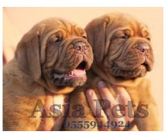French Mastiff pups  price in Bhopal, French Mastiff pups  for sale in Bhopal,
