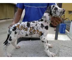 Harlequin great dane pups  price in Bhopal, Harlequin great dane pups  for sale in Bhopal,