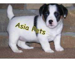 Jack russell terrier pups  price in Bhopal, jack russell terrier pups  for sale in Bhopal,
