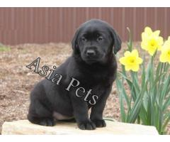 Labrador pups  price in Bhopal, Labrador pups  for sale in Bhopal,