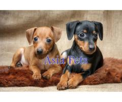 Miniature pinscher pups  price in Bhopal, Miniature pinscher pups  for sale in Bhopal,