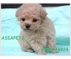Poodle pups  price in Bhopal, Poodle pups  for sale in Bhopal,