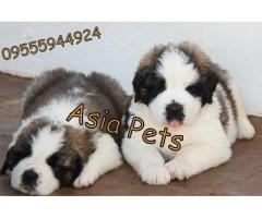 Saint bernard pups  price in Bhopal, Saint bernard pups  for sale in Bhopal,