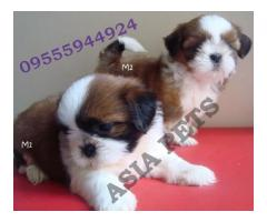 Shih tzu pups price in Bhopal, Shih tzu pups  for sale in Bhopal,
