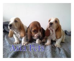 Basset hound pups  price in Bhubaneswar, Basset hound pups  for sale in Bhubaneswar