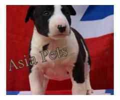 Bullterrier pups  price in Bhubaneswar, Bullterrier pups  for sale in Bhubaneswar