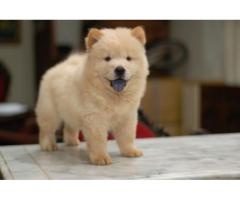 Chow chow pups  price in Bhubanaeswar, Chow chow pups  for sale in Bhubaneswar