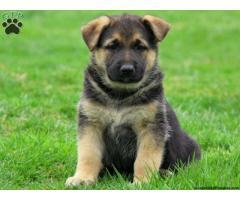 German Shepherd pups  price in Bhubaneswar, German Shepherd pups  for sale in Bhubaneswar