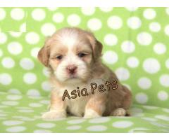 Lhasa apso pups  price in Bhubaneswar, Lhasa apso pups  for sale in Bhubaneswar