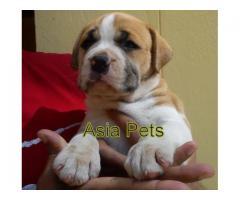 Pitbull pups  price in Bhubaneswar, Pitbull pups  for sale in Bhubaneswar