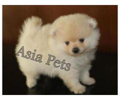 Pomeranian pups  price in Bhubaneswar, Pomeranian pups  for sale in Bhubaneswar