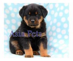Rottweiler pups  price in Bhubaneswar, Rottweiler pups  for sale in Bhubaneswar