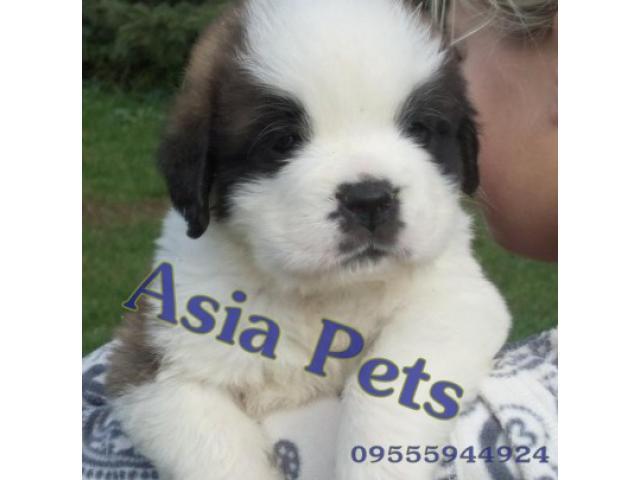 Saint bernard pups  price in Bhubaneswar, Saint bernard pups  for sale in Bhubaneswar