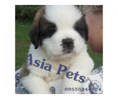 Saint bernard pups  price in Bhubaneswar, Saint bernard pups  for sale in Bhubaneswar