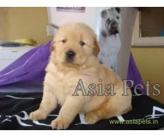 Golden Retriever pups for sale in Noida on Golden Retriever Breeders