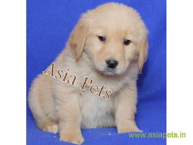 Golden Retriever Pups For Sale In Patna On Golden Retriever Breeders