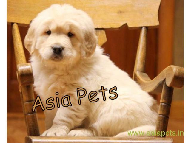 Golden Retriever pups for sale in Secunderabad on Golden Retriever Breeders
