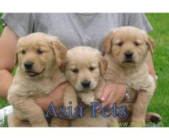 Golden Retriever pups for sale in Vizag on Golden Retriever Breeders