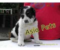 Alabai  Puppies for sale good price in delhi