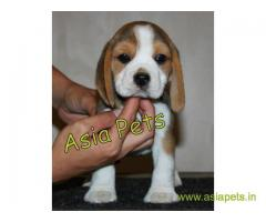 Beagle  Puppies for sale good price in delhi