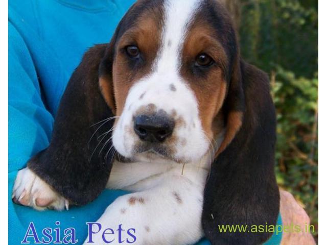 Basset hound  Puppies for sale good price in delhi