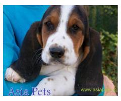 Basset hound  Puppies for sale good price in delhi