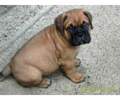 Bullmastiff  Puppies for sale good price in delhi