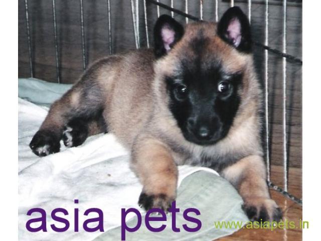 Belgian shepherd dog  Puppies for sale good price in delhi