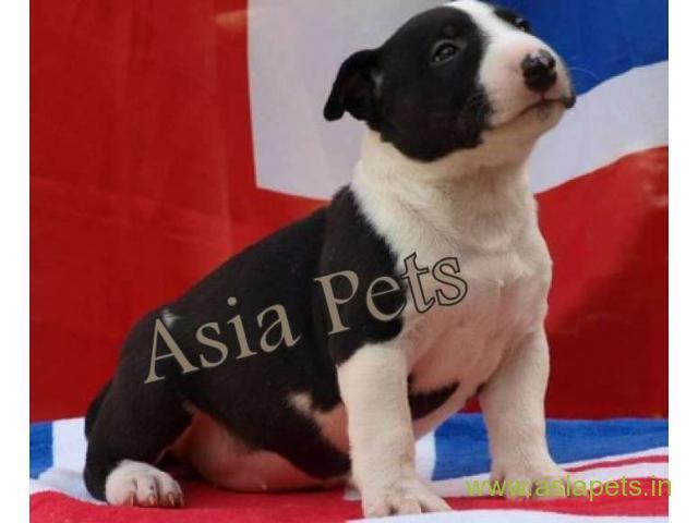 Bullterrier  Puppies for sale good price in delhi