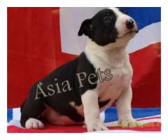Bullterrier  Puppies for sale good price in delhi