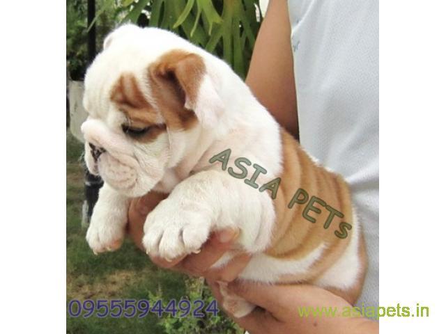 Bulldog  Puppies for sale good price in delhi