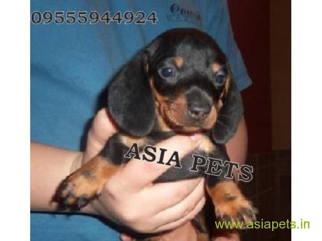 Dachshund  Puppies for sale good price in delhi