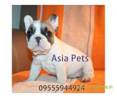 French Bulldog  Puppies for sale good price in delhi
