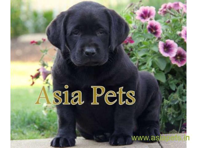 Labrador  Puppies for sale good price in delhi