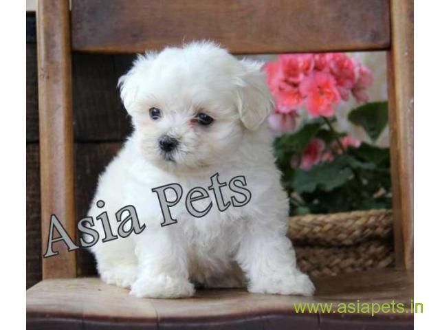 Maltese  Puppies for sale good price in delhi